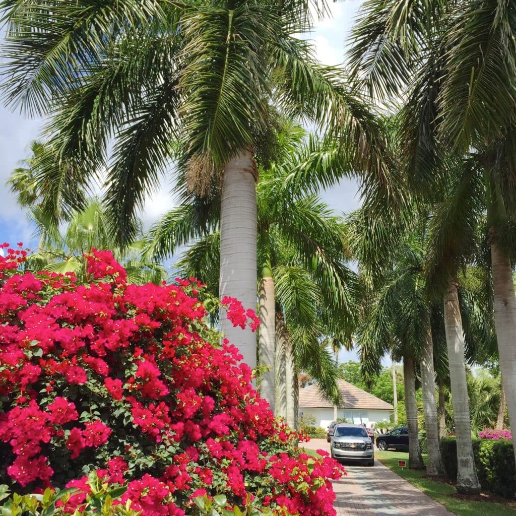 Bougainvillea and palm trees lining driveway