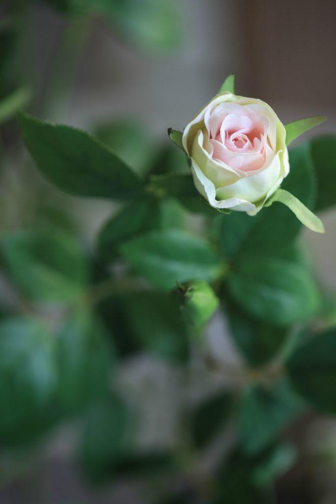 rose bud close up