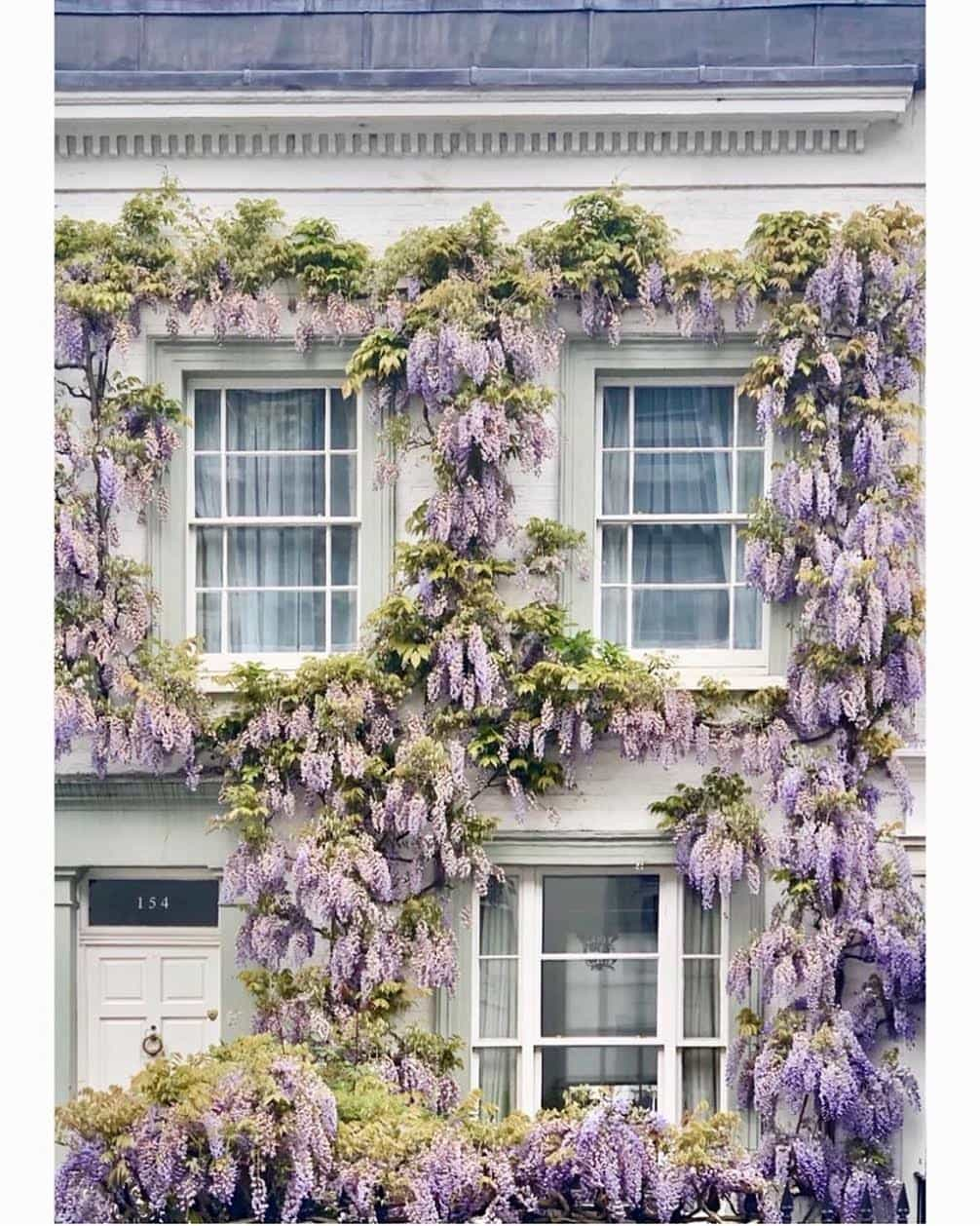 Wisteria climbing on house in London