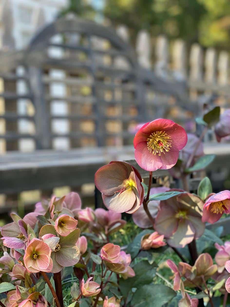 flores de heléboro