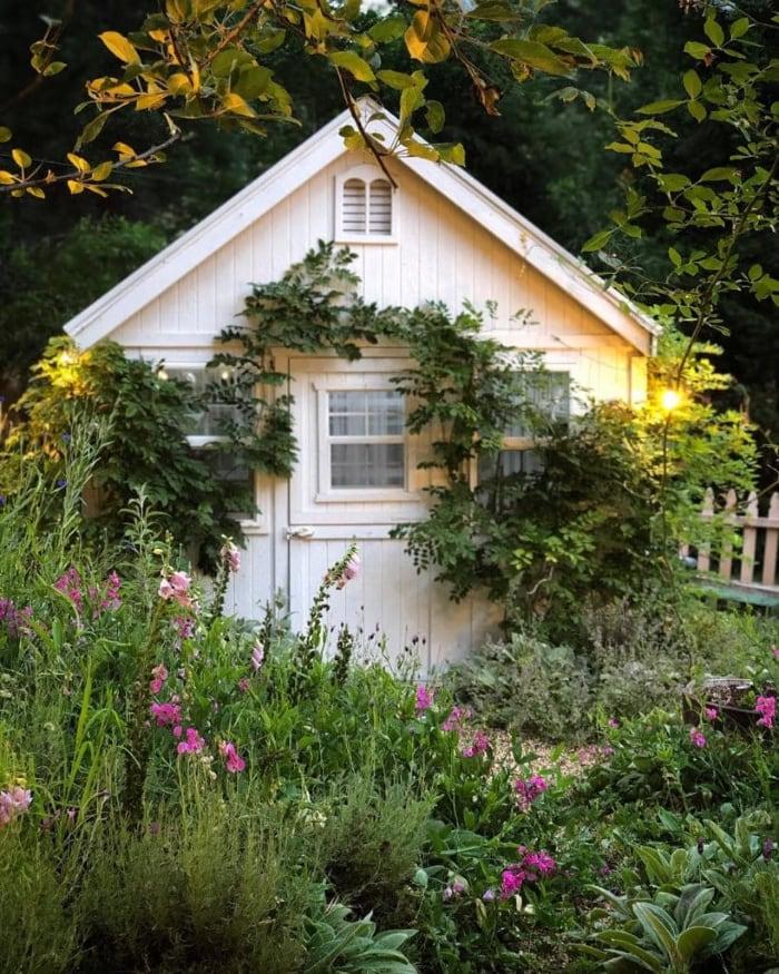 English Cottage Garden Plants- Lambs Ear