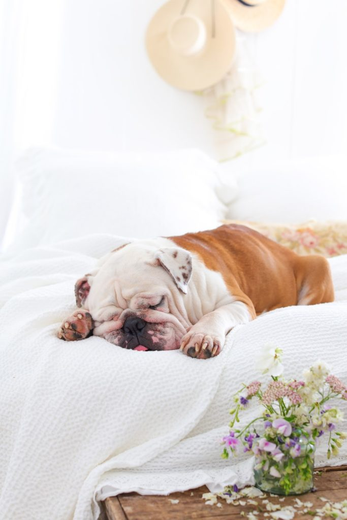 Bulldog on bed in summer themed bedroom