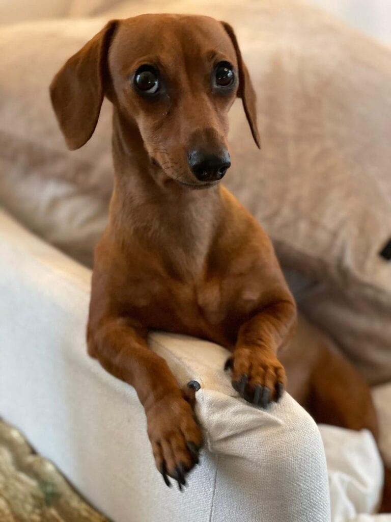 Cleo dachshund dog