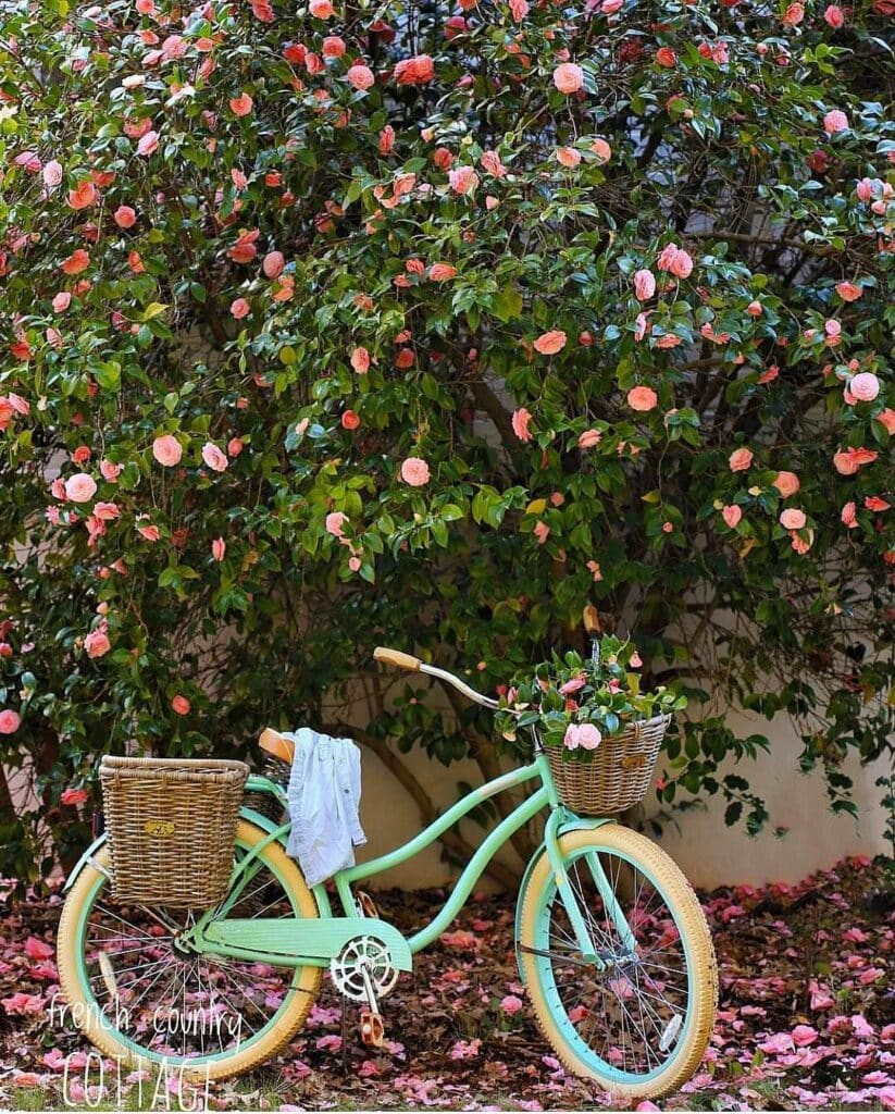 Camellia tree with beach bicycle