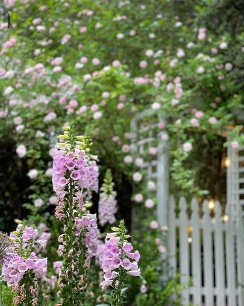 Foxgloves and Cecile Brunner roses in the garden