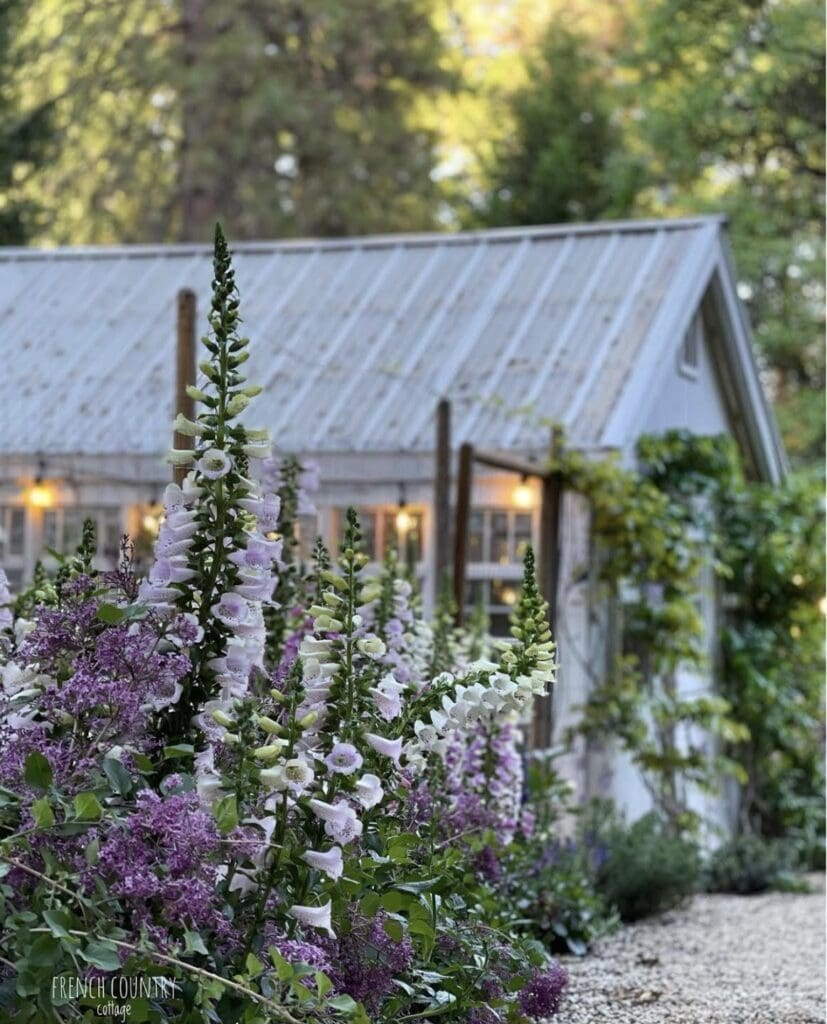 Foxgloves by greenhouse